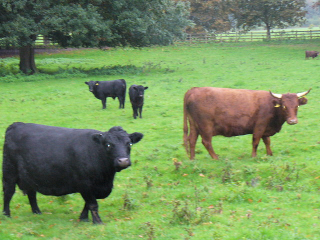 Dexter Cattle, Hatchlands Park