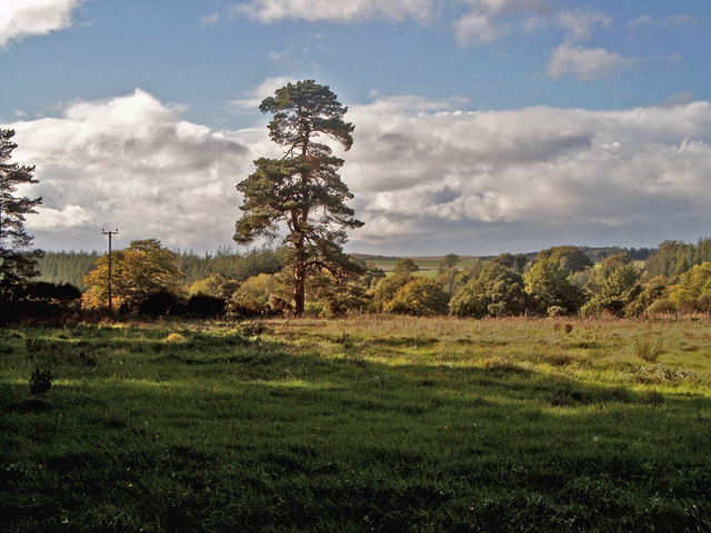 Solitary Scots Pine in farmland near Whitemire Village