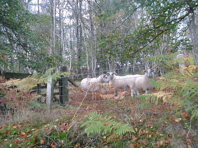 Woodland sheep.