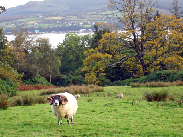 Brodick - sheep above Brodick Bay