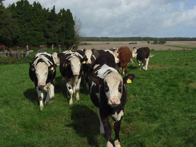 Cattle, Warren Farm