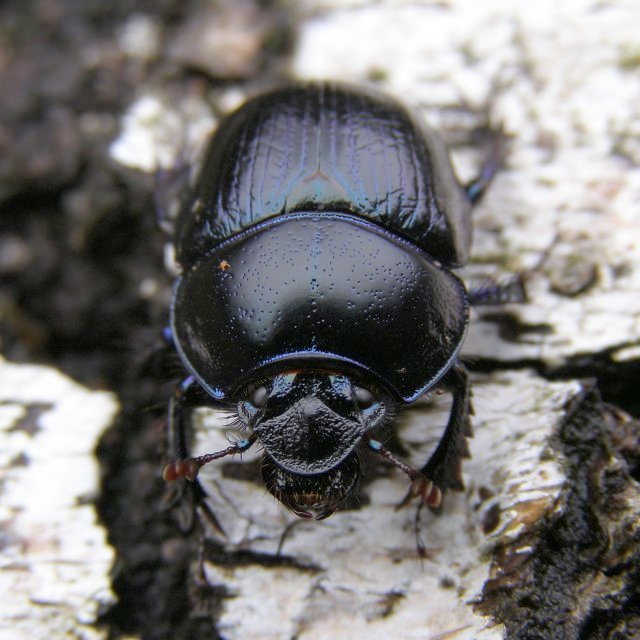 Scarab beetle on silver birch timber, Hollands Wood, New Forest