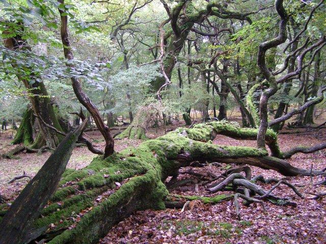 Fallen Beech Tree In Hollands Wood New 169 Jim Champion