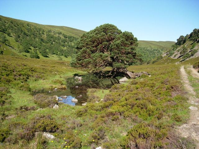 Lochan and Scots Pine in Glen Feshie