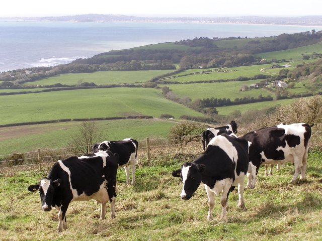 Cattle above Ringstead