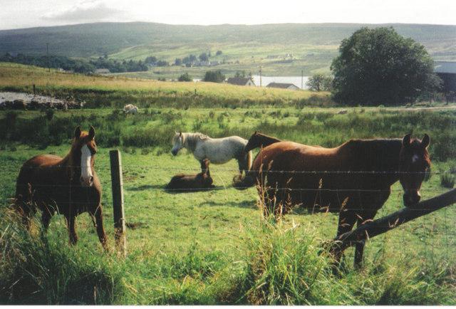 Ponies on Kathleen's croft