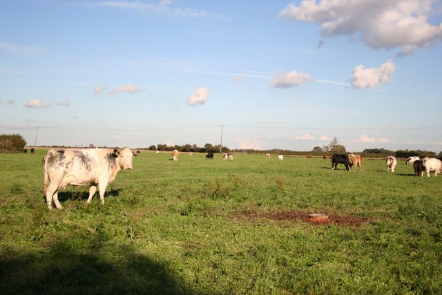 Cattle on Old Fen Road