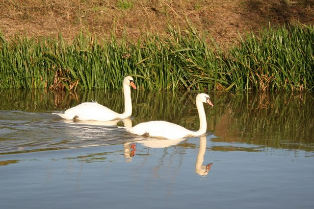Swans on the Steeping River