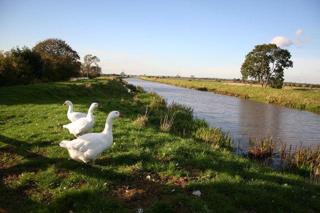 Geese at Crow's Bridge