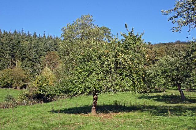 Cider apple harvest in Herefordshire