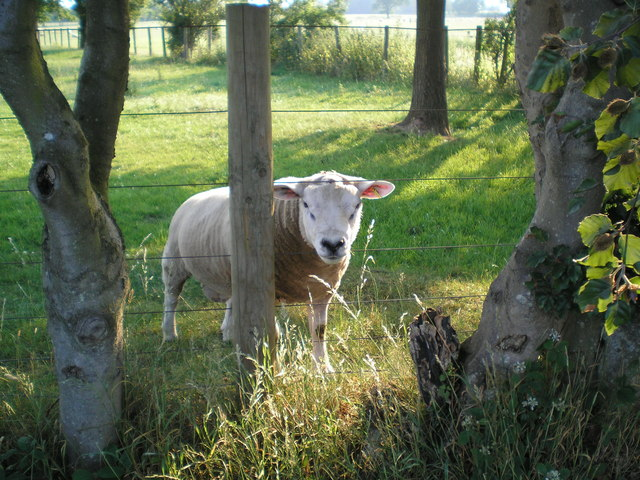 Inquisitive Sheep at Crosshill near Houghton