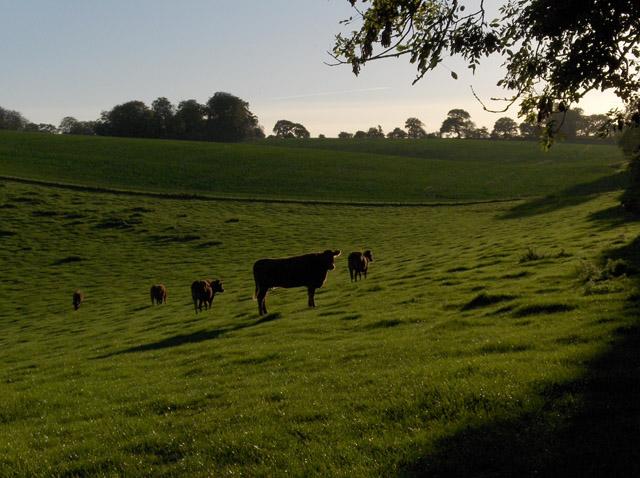 Cattle, Stock Lane