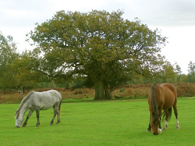 Ponies grazing on Mogshade Hill, New Forest