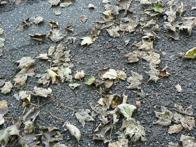 Autumn leaves, Abbey Road