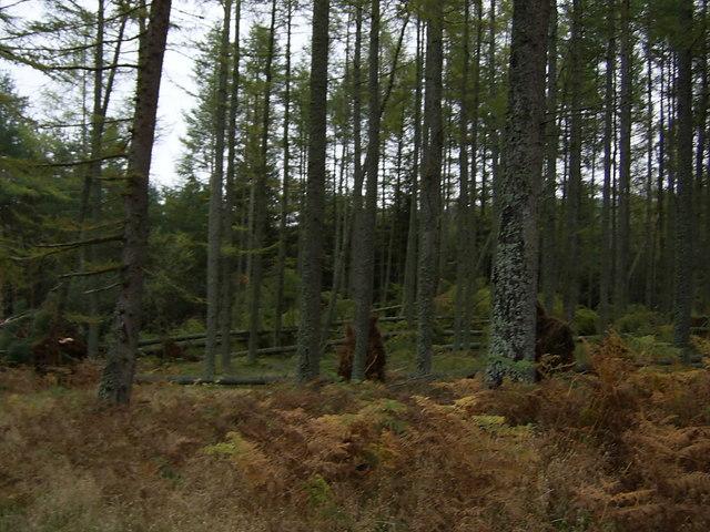 Windblown Larch Trees