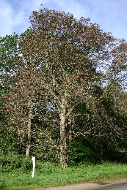 Horse chestnut flowering in autumn