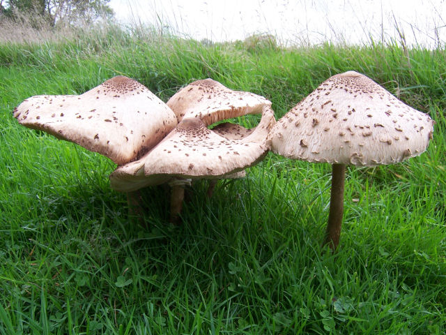Parasol Mushrooms (Lepiota Procera), Eridge Park