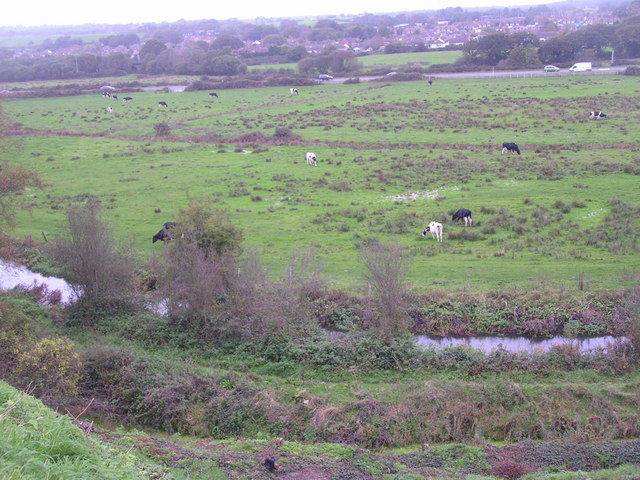 Cattle grazing the flood plain of the R. Piddle, Wareham