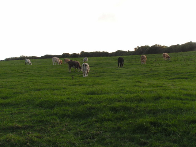 Cattle grazing near Langton Matravers