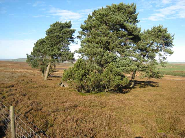 Pine trees on the moors above Wolsingham