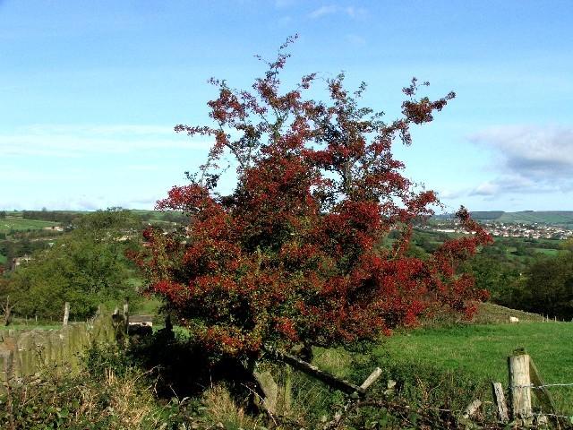 Hawthorn Tree near Lower Laithe.