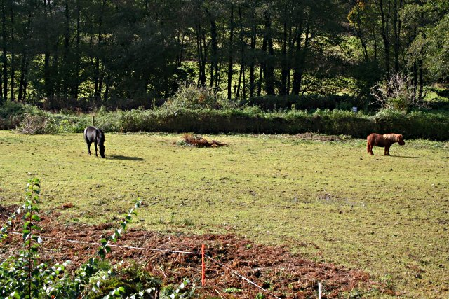 Ponies in Looe Valley