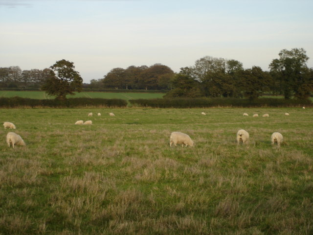 Sheep grazing on Rookery Farm