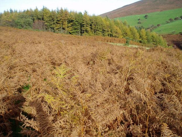 Bracken-covered hillside