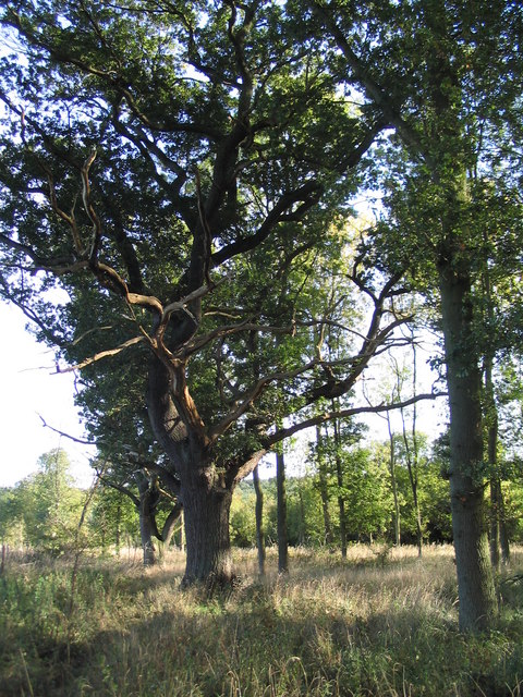 Older oak, near Shire Hill Lodge