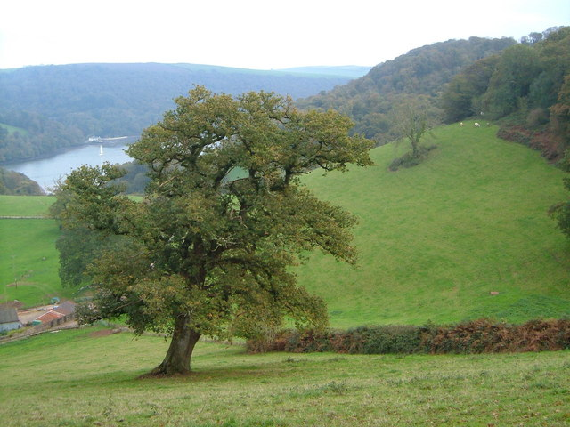Oak tree above Dart