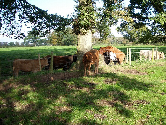 Bullocks in dappled shade