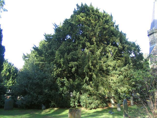 Yew tree at St Garmon's Church