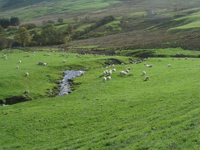 Stream and sheep