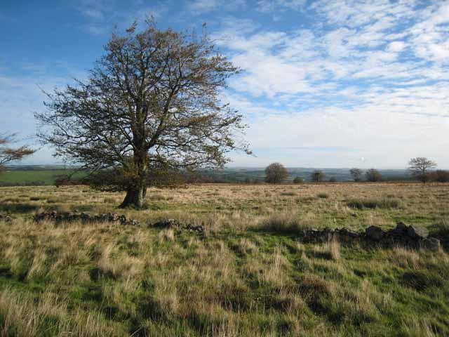 Beech tree on Cabin Hill