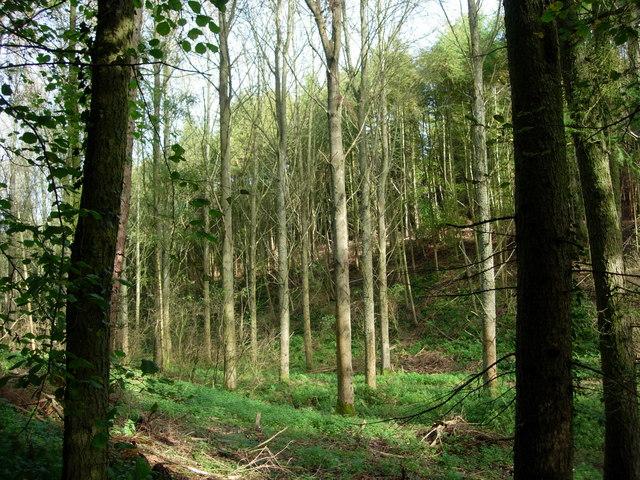 Poplars in Great Britain's Wood - Sevenoaks