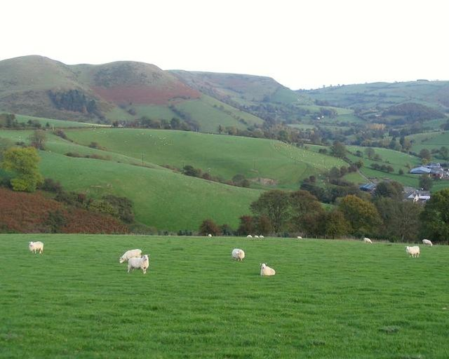 Sheep near Rhiwlas