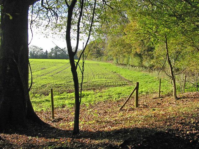 Winter cereals beside Garston Wood Dorset