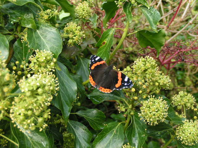 Red Admiral on Ivy