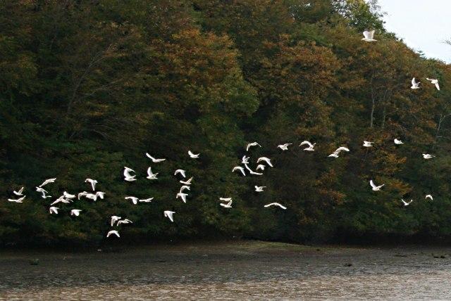 Seagulls in Flight over the Estuary