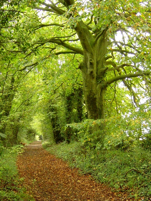 Leafy byway near Humbly Grove