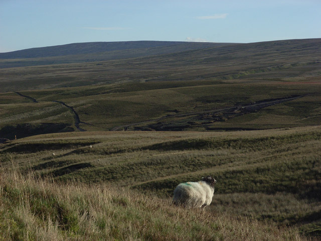 Sheep's eye view of Burnhope Moor