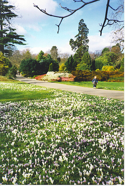 Crocus Carpet, Hazlehead