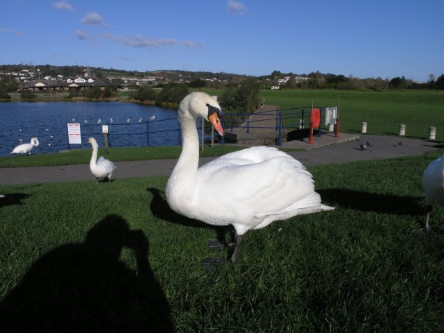 A swan near Sandy