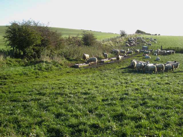 Field of sheep near Ryal