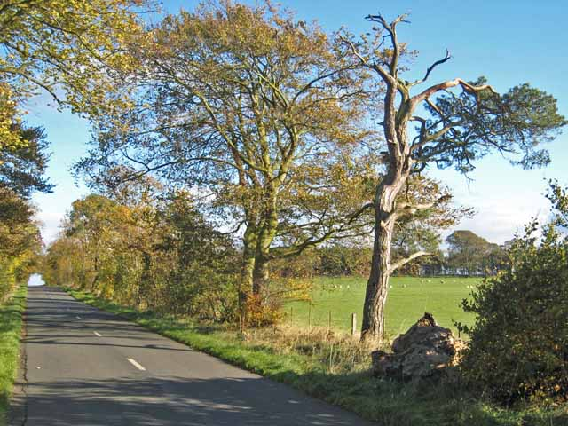 Tree-lined road between Little Bavington and Bolam