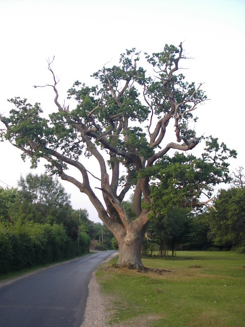 Stag headed oak, Newtown near Minstead, New Forest