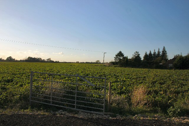 Sugar beet field at Chittering