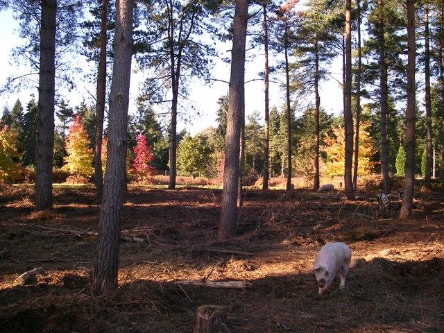 Woodland pigs - Markshall
