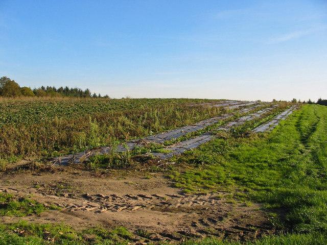 Strawberry field Alderholt Dorset