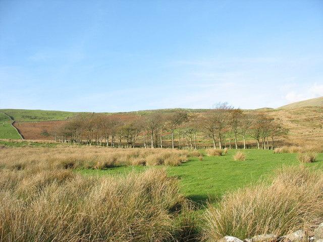 The Shelter-belt of trees marking the former boundary between the Tyddyn-Newydd and Tal-y-llyn farms